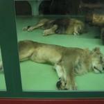 lion0804